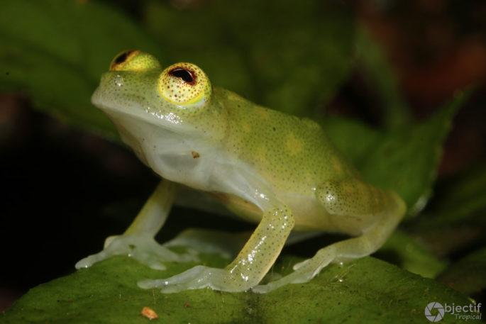Hyalinobatrachium-capellei